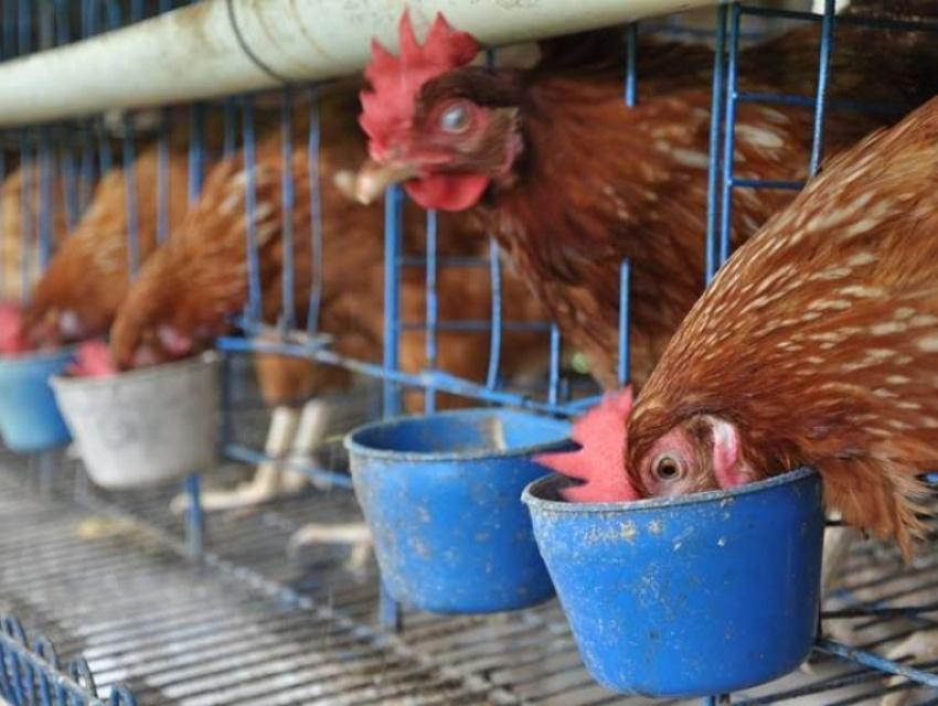 Periode Starter Ayam Petelur