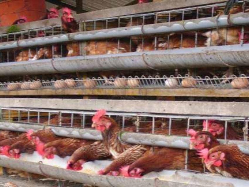 Periode Grower Ayam Petelur