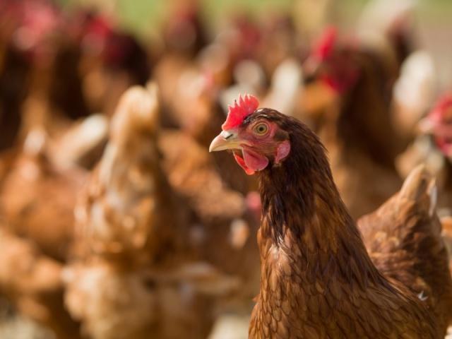 4 Keuntungan Ternak Ayam Potong